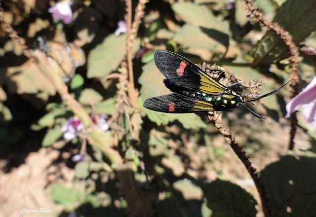 Arctiidae : Ctenuchinae : Belemnia eryx (FABRICIUS, 1775) ou B. crameri BUTLER, 1875. Colider (Mato Grosso, Brésil), mai 2011. Photo : Cidinha Rissi