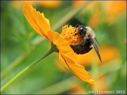 bee on coreopsis0821 (7)