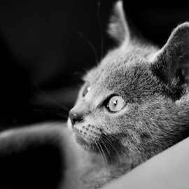 by Sophie Mirgaux - Animals - Cats Kittens