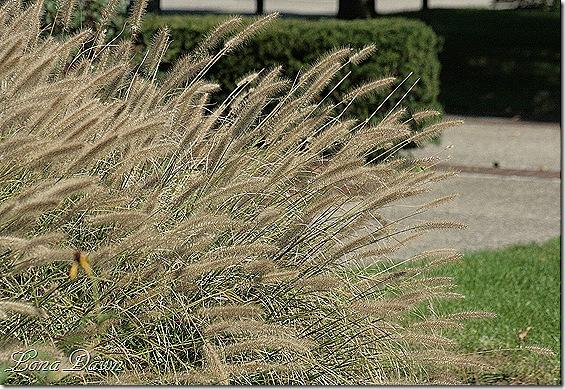 FPC_Pennisetum_Grass