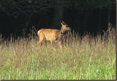 juvinile Elk at  Cataloochee Valley