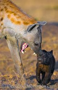 Amazing Pictures of Animals, Photo, Nature, Incredibel, Funny, Zoo, Hyena, Mammals, Alex (2)