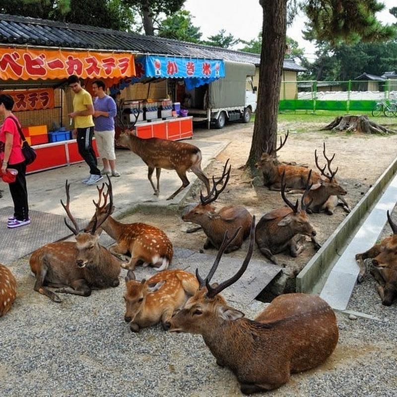 Menjelajahi Kota Nara di Jepang, Kota yang Dipenuhi Oleh Rusa