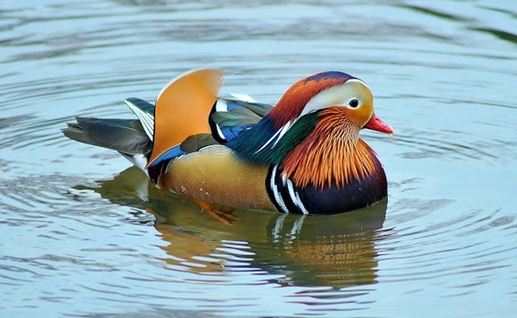 most-colorful-duck-4