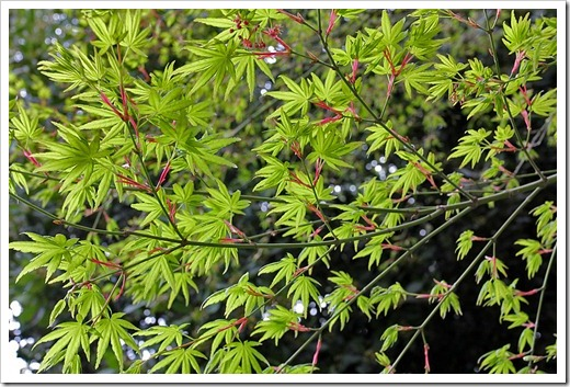 110316_green_acer_08