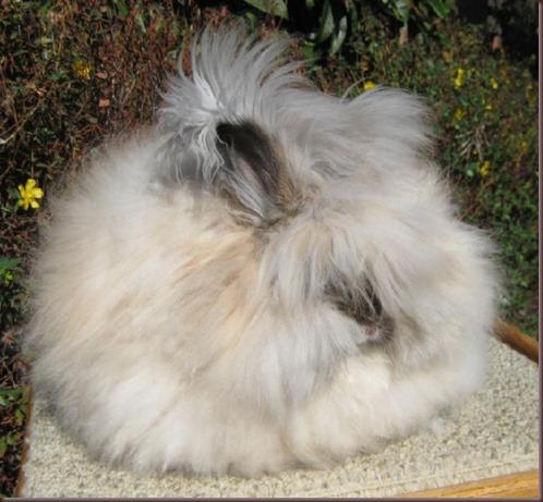 Amazing Animal Pictures Angora Rabbit (8)