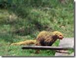 Mongoose-Squirrel