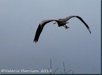 20-heron