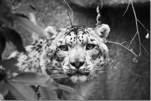 Fotos preto e branco de animais selvagens (2)