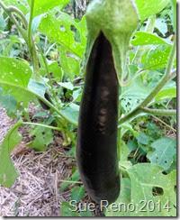 Sue Reno, Japanese Eggplant