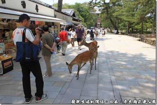 奈良梅花鹿公園,梅花鹿自由自在的敞遊於公園內。