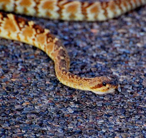 3. snakehead-kab