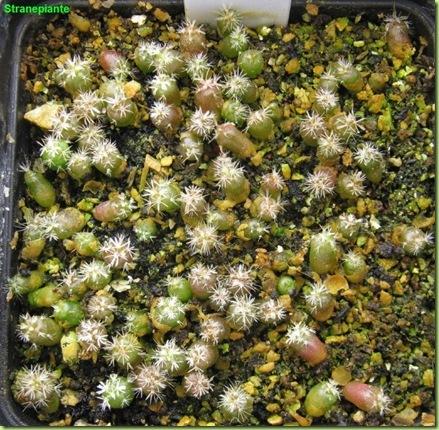 Stenocactus multicostatus-2011-03-29_00005IMG_3402
