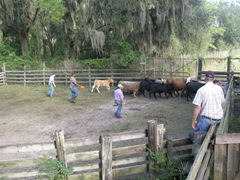 feed cows 034