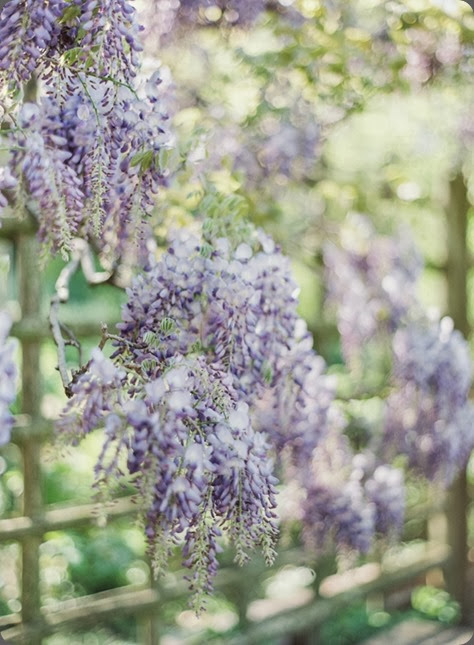 Vicki-Grafton-Photography-Wisteria