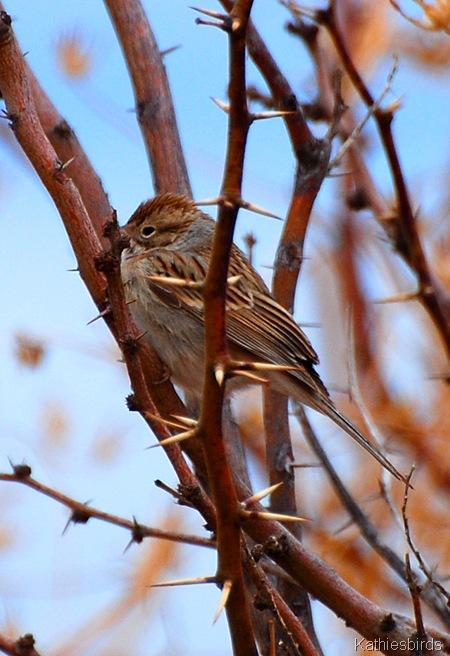 18. sparrow-kab