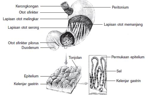struktur lambung
