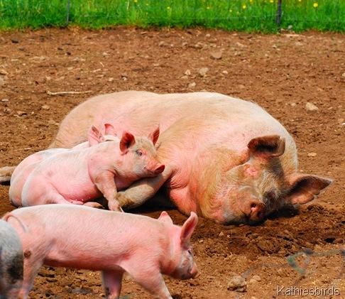 10. pigs-kab