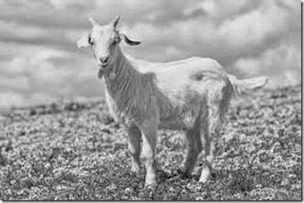 cabra de judas