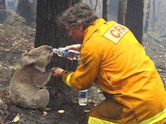 Коала Сэм пострадал во время лесного пожара. Пожарник Дэйвид Три дает коале напиться.