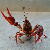 crawfish1.jpg