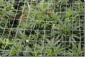 marijuana-plants600