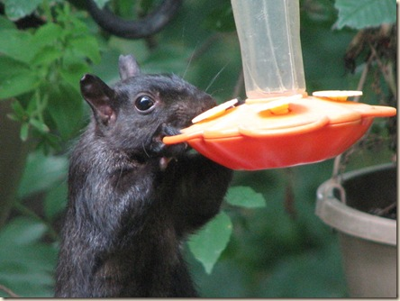 squirrel - hb feeder