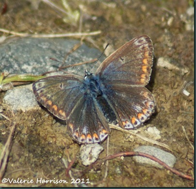 25-common-blue