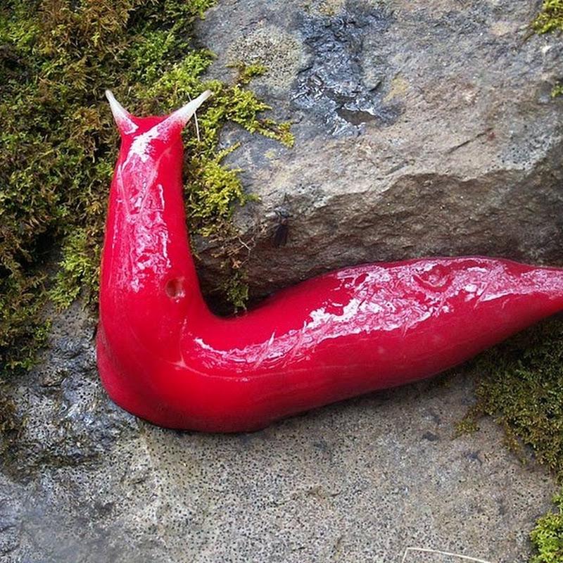 Giant Pinks Slugs of Mount Kaputar