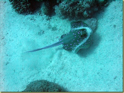 Blue Spotted Ray-001
