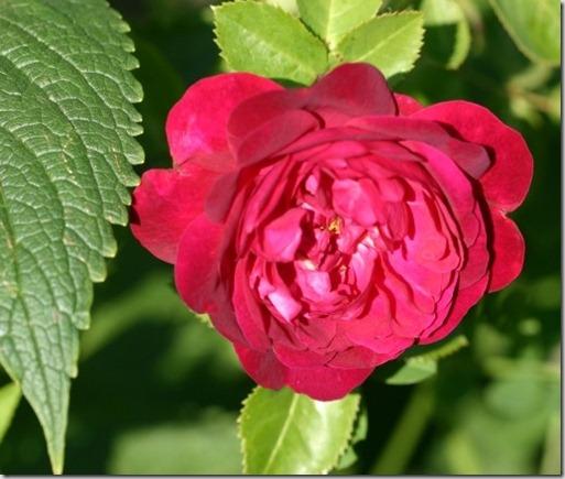 Rosa Chianti, en Austin rose