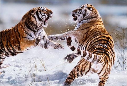 tigers_1536320i