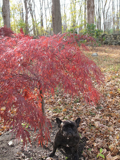 And I love Acer Palmatum 'Tamukeyama' - this is a lace-leaf maple that grows into a lovely umbrella shape - so nice for sitting under.
