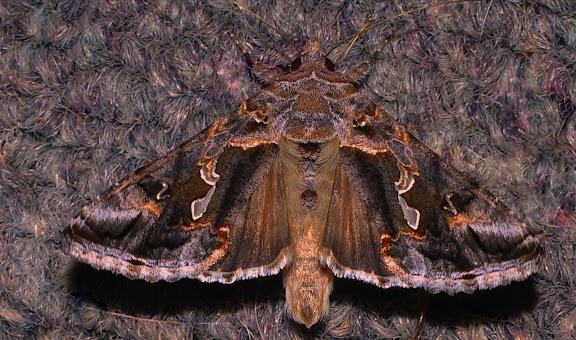 Noctuidae : Plusiinae : Chrysodeixis argentifera GUÉNÉE, 1852. Umina Beach (NSW, Australie), 26 septembre 2011. Photo : Barbara Kedzierski