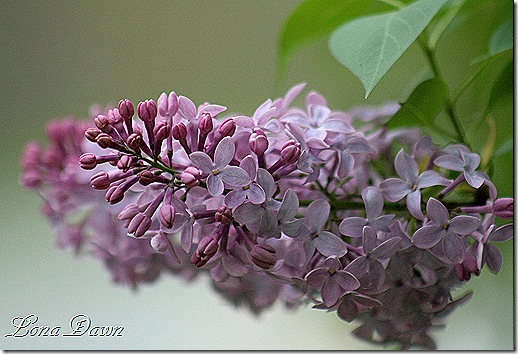 Lilacs_Of_Spring5