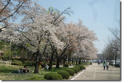 Cherry Blossom Festival Korea 019