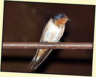 07b - Barn Swallows Adult