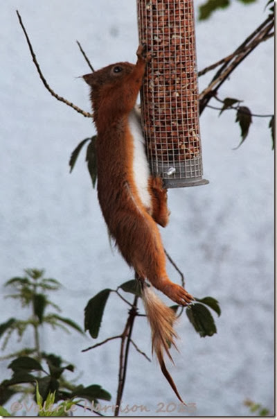 red-squirrel injured tail 4