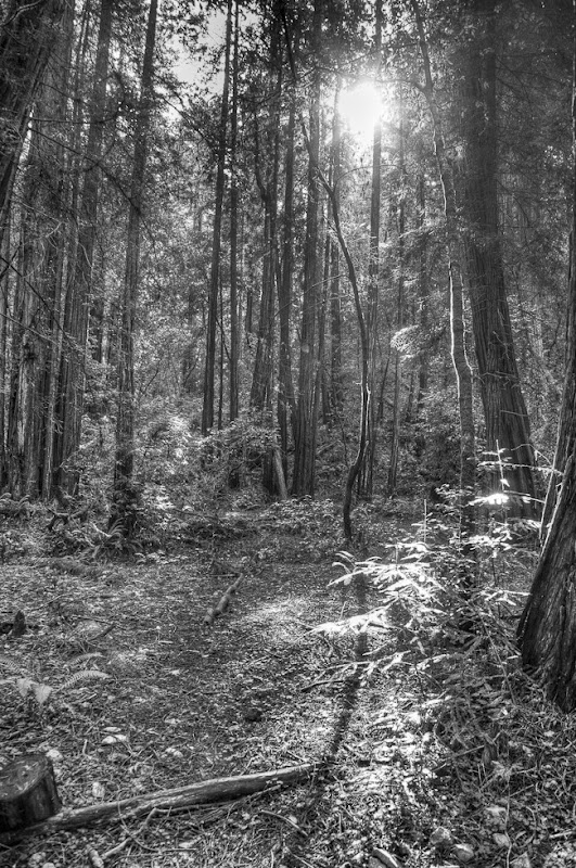 Muir Woods Black and White-3