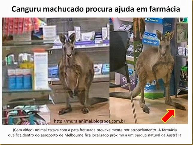 Canguru machucado procura ajuda em farmácia