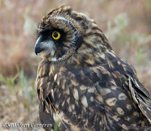 6-Short-eared-Owl-