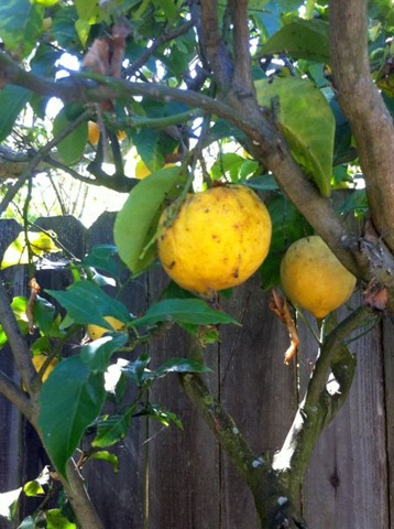 meyer lemon tree 3