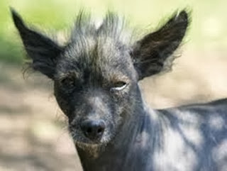 Amazing Pictures of Animals, Photo, Nature, Incredibel, Funny, Zoo, Dog, Mexican Hairless Dog, Xoloitzcuintle, Mammals, Alex (1)