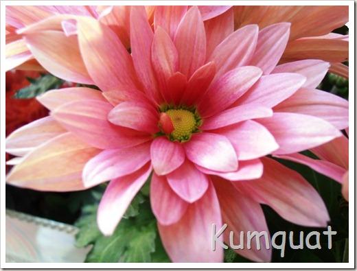 crisantemo 7