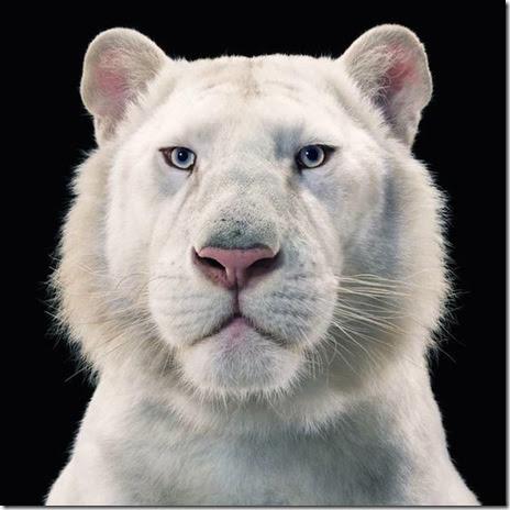 tim-flach-privirea unui leu