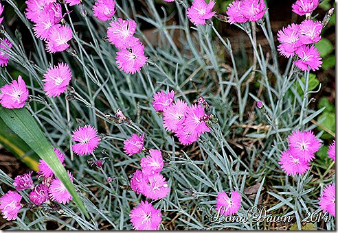 Dianthus Brilliant
