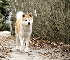 hachiko_a_dog_s_story04