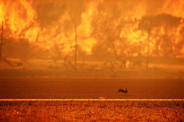 A rabbit runs from a wildfire burning along the Pacific Coast Highway near Point Mugu State Park in Ventura County, California, on 3 May 2013. Some 4,000 homes were threatened by a growing wildfire northwest of Los Angeles that has forced the closure of California's scenic coastal highway, firefighters said. Photo: Robyn Beck / AFP / Getty Images