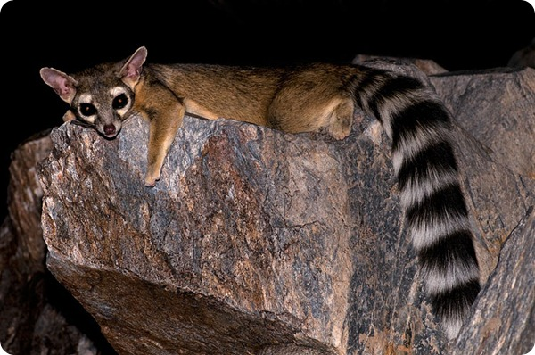 bassarisco ringtail