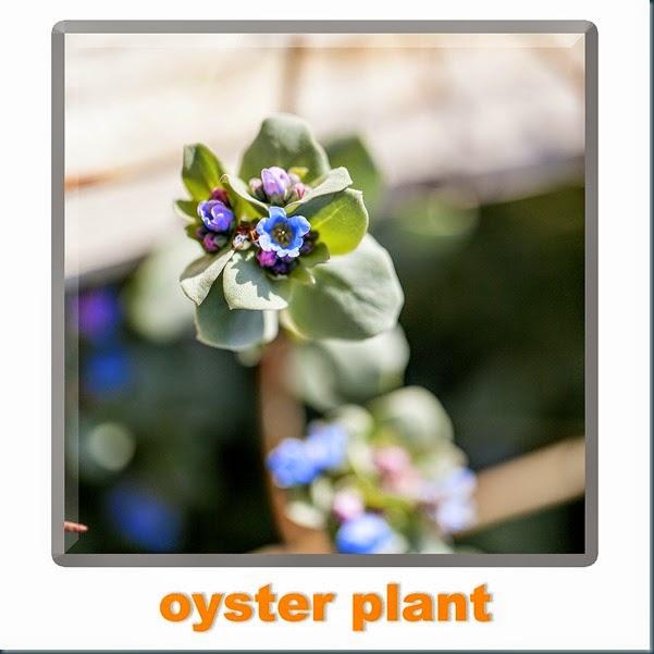 oysterplant2